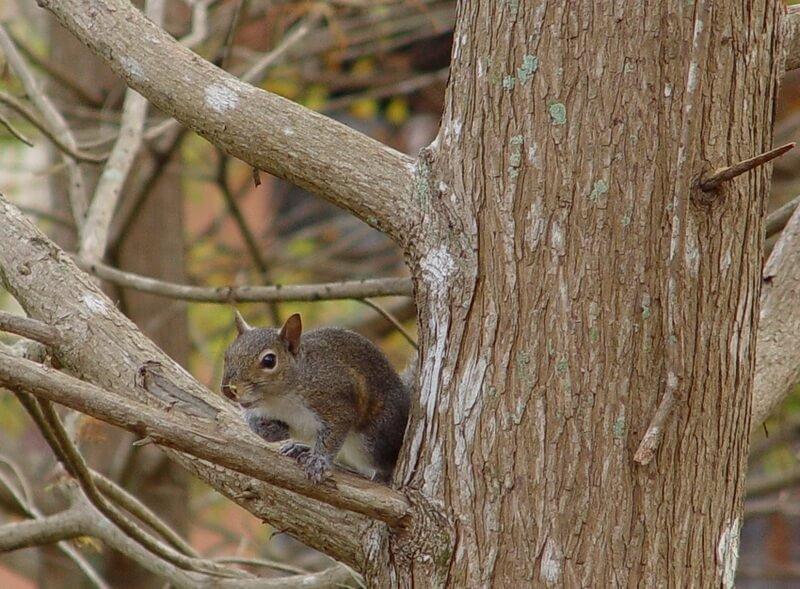 Cypress-Cove-Eekhoorn